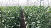 Unsere Tomaten BVH Ökohof