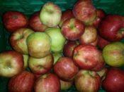 Streuobst Äpfel Gravensteiner