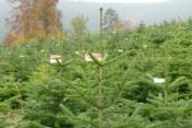 Sonderverkauf am 17.12. Bio-Tannenbäume bei ecocion